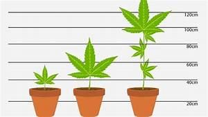 Pfeffer Pflanze Selber Züchten : homegrowing und die justiz je gr er die pflanze desto h her die strafe leben themen puls ~ Markanthonyermac.com Haus und Dekorationen