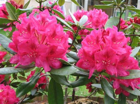 rhododendron rhododendron fiche plante