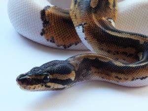 python shedding signs pacific pythons 187 python info