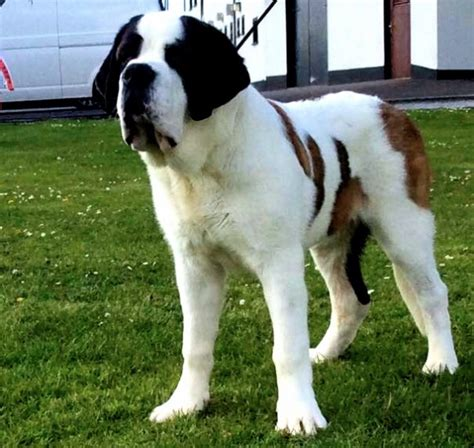 superb smooth coated bernard puppy cardiff cardiff pets4homes