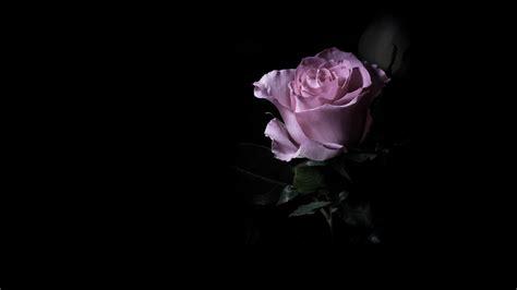 Wallpaper Цветок розовой розы на черном фоне Desktop ...