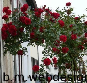 Kletterrosen Richtig Pflanzen : kletterrosen richtig schneiden rosen ~ Markanthonyermac.com Haus und Dekorationen