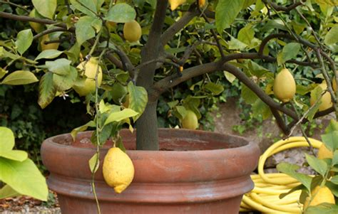 how to plant lemon lime orange trees realestate au