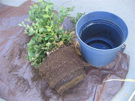 gardening how to growing repotting blueberries in idaho lizbeth s garden