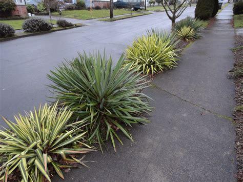 Danger Garden Yucca Filamentosa 'color Guard' Is My