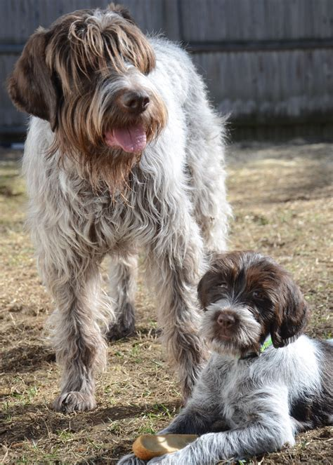 5 things you didn t about the wirehaired pointing