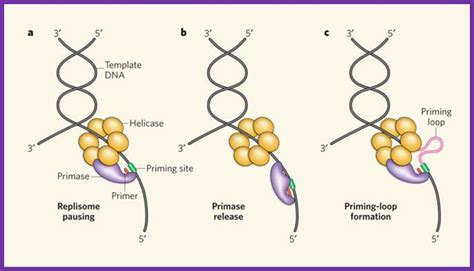 The Leading Strand Template Forms A Priming Loop by 5