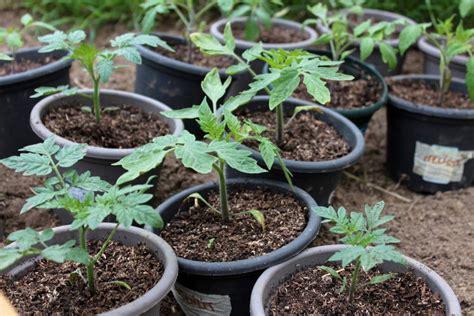 comment planter ses tomates techniques et conseils pour bien le r 233 ussir