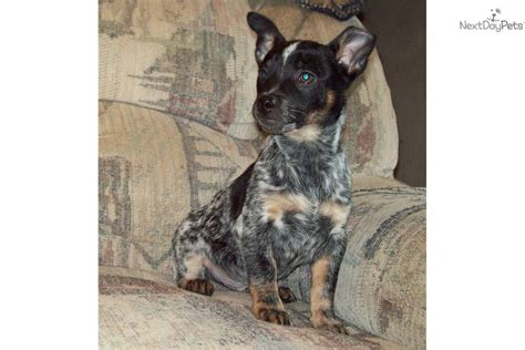 border collie blue heeler mixed breed encyclopedia breeds picture