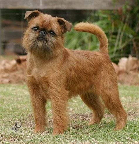 246 best images about brussels griffons on
