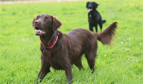 types of breeds golden retriever breeds picture