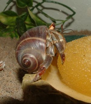 17 best images about hermit crabs on hermit