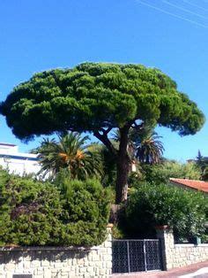 recette de jardin 1 palmier chanvre le palmier de chine ou encore palmier chanvre ou