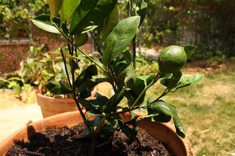 growing a lemon tree in a pot eat drink better