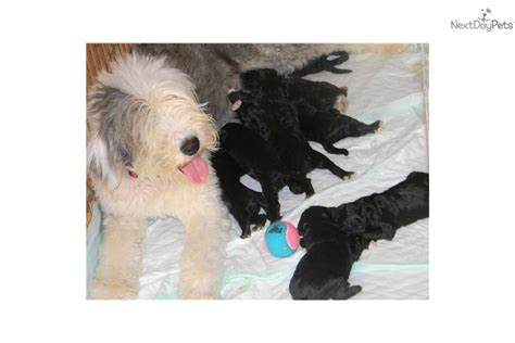 list non shedding hypoallergenic dogs pictures shepadoodle for sale for 1 250 near ce60cc61 e561