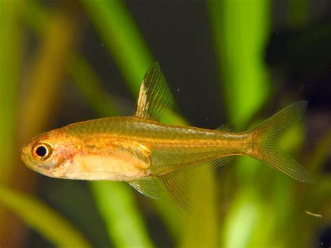 hyphessobrycon amandae characid 233 s poissons exotiques vente magasin uniquement nano