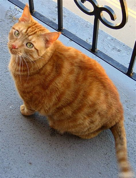 are cats color blind file orange tabby cat on balcony jpg wikimedia commons