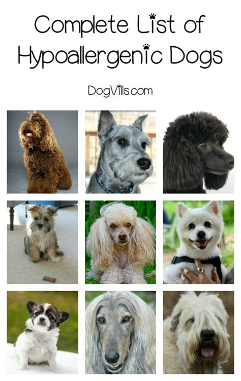 list non shedding hypoallergenic dogs pictures list of breeds hypoallergenic breeds
