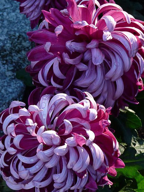 fleur exterieur toute saison pivoine etc