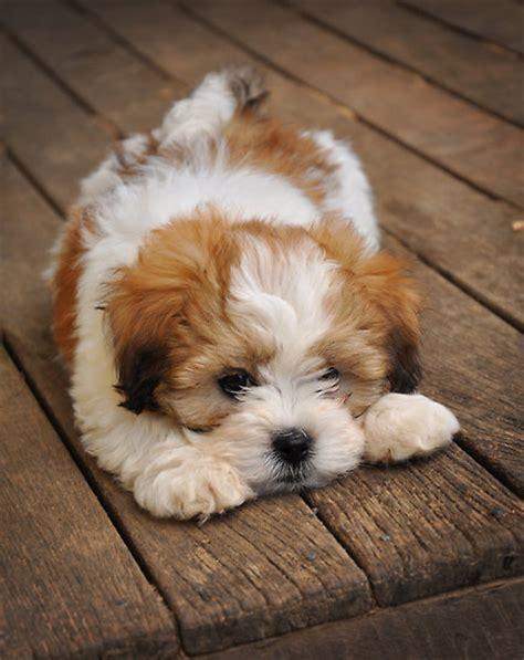 best 25 lhasa apso ideas on lhasa apso puppies shih tzu and shih tzu puppy