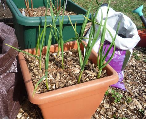 Prepare Large Growing Garlic In Containers |
