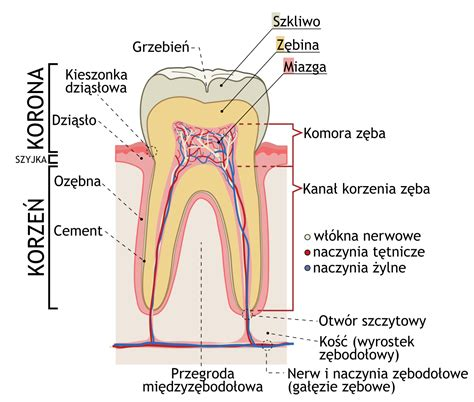 Filecross Sections Of Teeth Plsvg  Wikimedia Commons