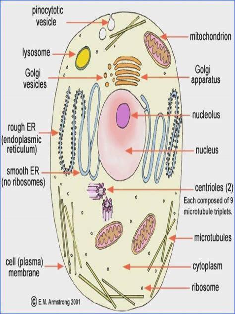 Cells Alive Worksheet Rosenvoilecom