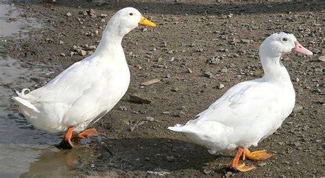 races de canards