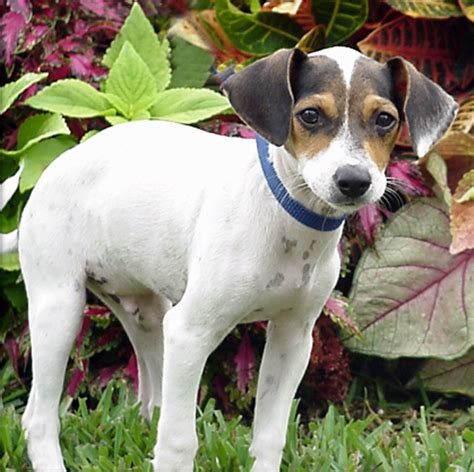 chandler rat terrier humane society of dallas county