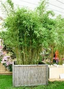 Immergrüner Sichtschutz Im Kübel : 15 must see bambus pflanzen pins bambus als sichtschutz bambus sichtschutz und bambus ~ Whattoseeinmadrid.com Haus und Dekorationen