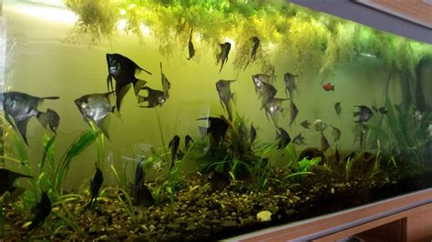 large aquarium with stand 600l and angelfishes newark nottinghamshire pets4homes