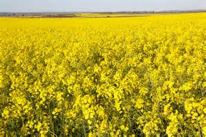 Information on genetically modified (GM) crops ...