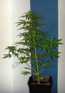 autoproduction de cannabis en ext 233 rieur du growshop alchimia