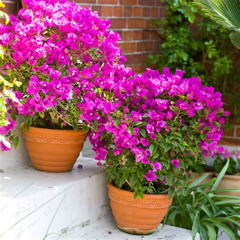 44 best shrubs for containers bougainvillea shrub and gardens