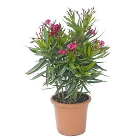 laurier jannoch plantes et jardins