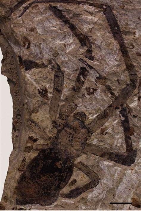 la plus grande araign 233 e fossile jamais d 233 couverte