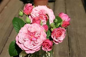Rosen Kaufen Günstig : agnes schilliger und andere rosen kaufen sie g nstig im online shop von rosen ~ Markanthonyermac.com Haus und Dekorationen