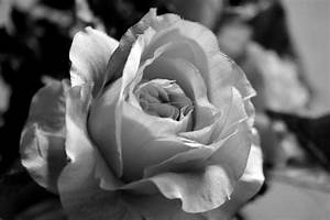 Kaffeetassen Schwarz Weiß : rose in schwarz wei foto bild pflanzen pilze flechten bl ten kleinpflanzen rosen ~ Markanthonyermac.com Haus und Dekorationen