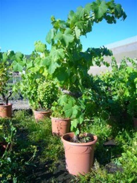 cep de vigne en pot 28 images le cep de vigne le cep de vigne f 234 te des p 232 res