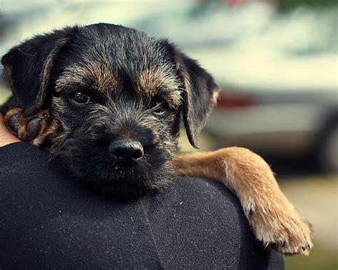 best 25 border terrier puppy ideas on border terrier terrier and terrier mix