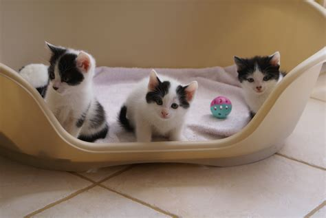 les 15 premiers jours du chaton 224 la maison comportementaliste chat 75 77 78 91 92 93 94
