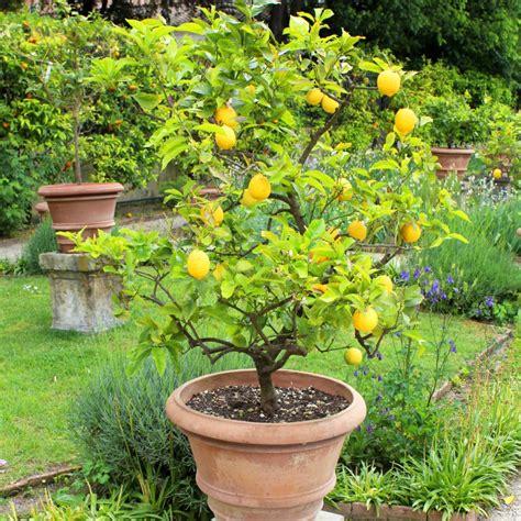 citronnier des 4 saisons plantes et jardins