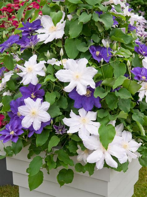 how to grow flowering vines in containers hgtv