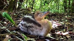 Wild baby cassowary - YouTube