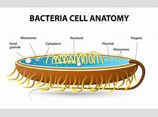 Bacteria Cell Anatomy Stock Vector Image 43846851