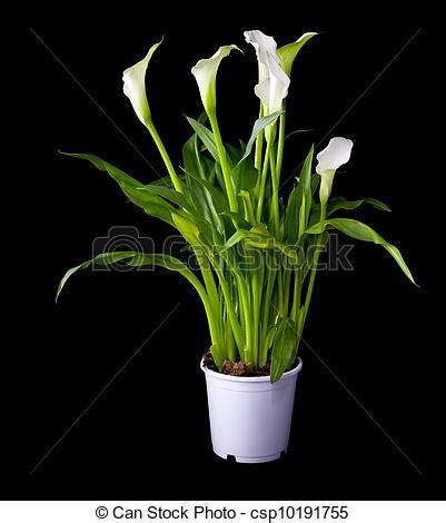 images de floraison plante de calla fleurs dans pot fleurs csp10191755 recherchez