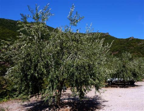 taille de l olivier