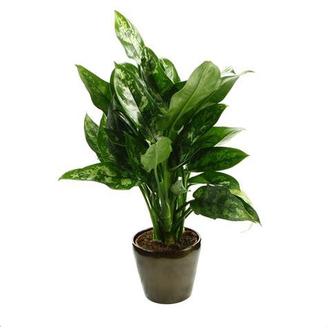 aglaon 233 ma plante 216 17cm pot plantes vertes d int 233 rieur jardinerie truffaut