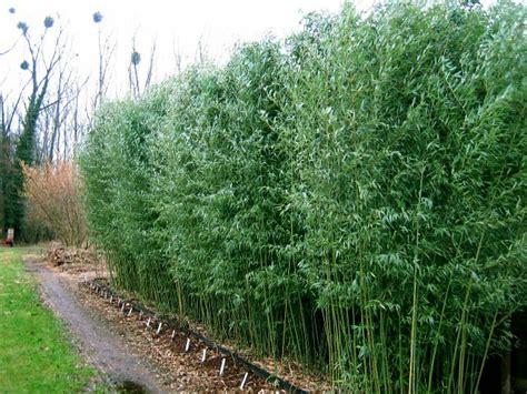 phyllostachys bissetii plantes ext 233 rieures