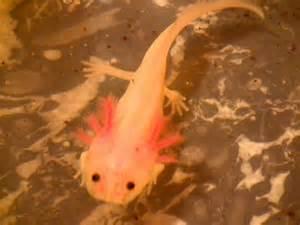 vends axolotl idf